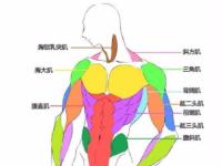 萌新小白学习动漫人体肌肉走向