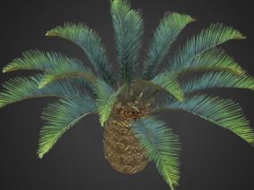 棕榈西米树 铁树