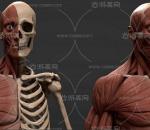 人体骨架肌肉