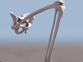腿骨cg模型