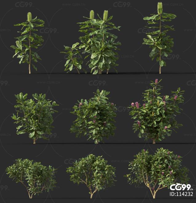 斑克木  灌木 植物