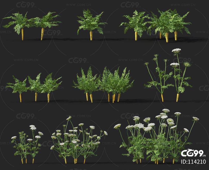 胡萝卜 经济作物 植物 农产品 农作物