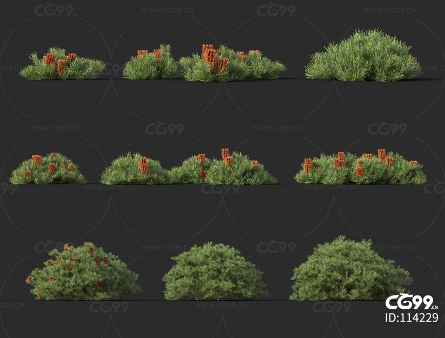 澳洲灌木01 灌木 植物