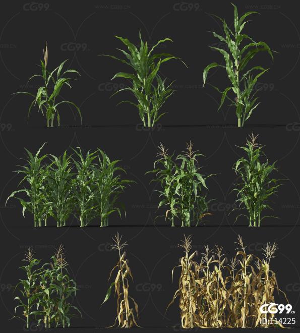 玉米  经济作物 植物 农产品 农作物
