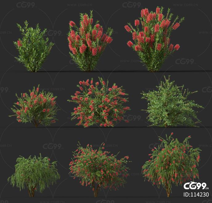 澳洲灌木02 灌木 植物