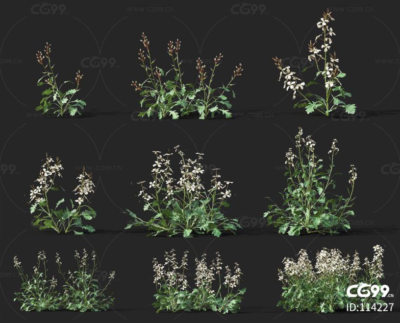芝麻菜 经济作物 植物 农产品 农作物