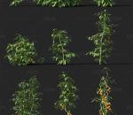 番茄 农作物 植物 西红柿