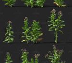 烟草 经济作物 植物 农产品 农作物