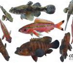 鱼,石斑鱼,梅鲷鱼,沙塘鳢,石首鱼,观赏鱼,黄鱼,八带石斑鱼