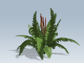 肉桂蕨 蕨类植物 绿植 灌木