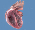 心肌心脏解刨 动脉 静脉 心房 血管 科教医学模型 人体器官