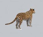 精致花豹3D模型