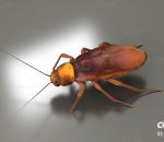 蟑螂 蜚蠊目 昆虫 节肢动物门 昆虫纲 医学昆虫