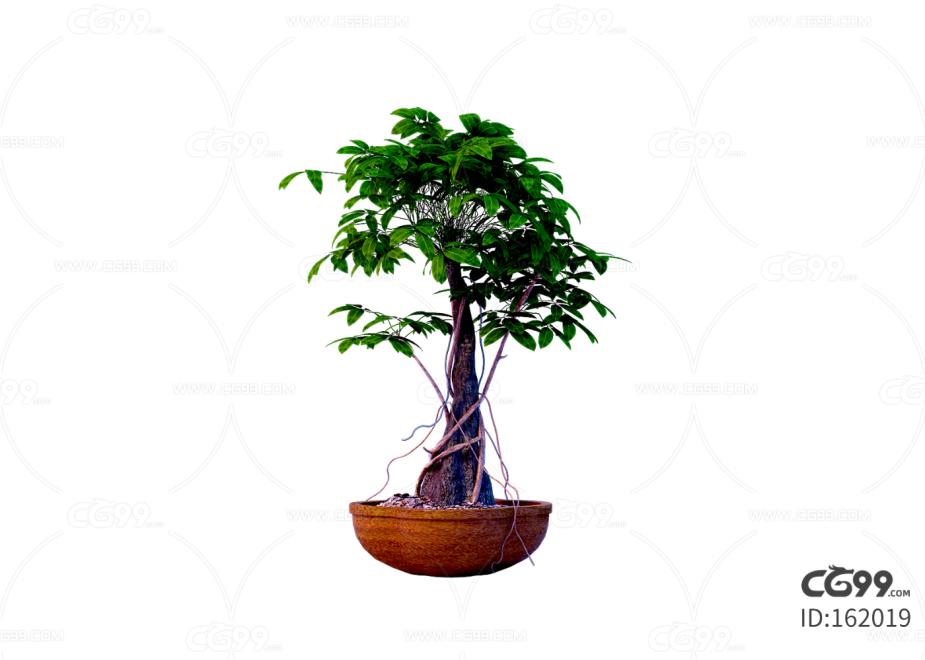 花卉 辫子树 发财树 辫子树干 盆栽 绿植 园艺 植物 绿叶 C4D cr 树干缠绕 歪脖子树