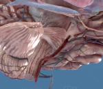 大脑 人脑 额叶 胼胝体 大脑皮质 视丘 下视丘 视神经 眼 杏仁核 海马体 脑垂腺 脊椎 小脑