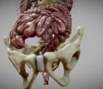 消化系统 肠道 解剖 人体 器官 科教 医学模型 胰脏 肝 胃 肠道 胆囊 脾脏 胰腺 大肠 小肠