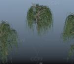 柳树 垂柳 植物 古老杨柳 河旁垂柳 景观树 杨柳 植物 树 写实春柳 古老植物