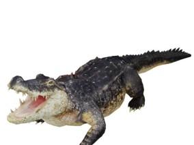 写实动物 高清模型 鳄鱼