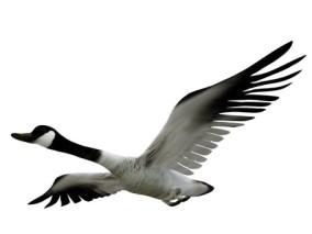 写实动物 高清模型 大雁