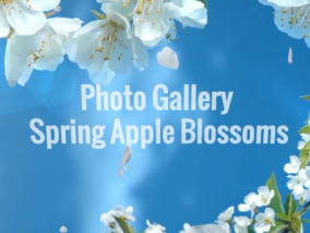 春天鲜花盛开相册AE模板