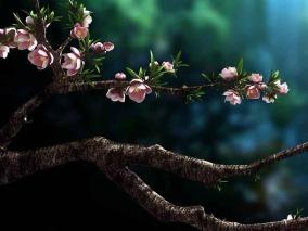 影视级桃树 桃花 开花动画