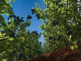 蓝莓种植max模型