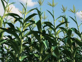 农作物玉米粮食庄稼max模型