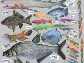 鱼,龙头鱼,虾虎鱼,斑马鱼,罗非鱼,长体鲂,鲳鳊鱼,鲫鱼鲤鱼