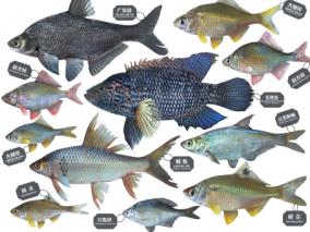 鱼,广东鲂,鳊鱼,土鲮鱼,花斑鱼,鳑鲏鱼,边鱼,龙头鱼,鲤鱼