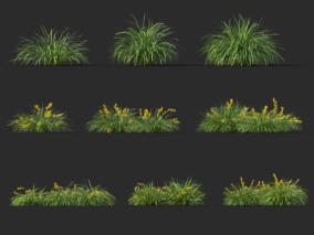 长叶罗曼德拉 灌木 植物