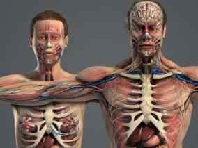 男女人体解剖  人体结构    人体器官