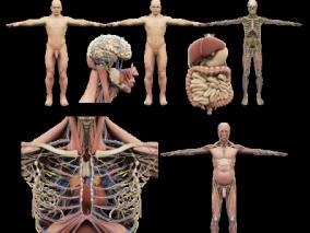 人体解剖,人体结构,人体标本,人体经络,肌肉,骨骼,神经,器官