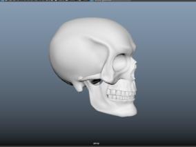 石膏头骨模型