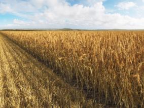 田间农场农作物小麦麦田麦子麦穗 Max+C4D+FBX