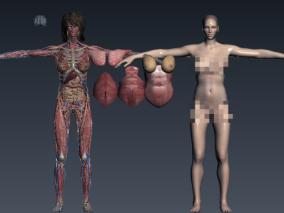 超精细女性人体解剖结构 法医法学 医疗教学医学 肌肉 器官 组织  骨骼 内脏 神经 医院