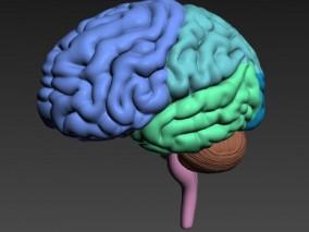 大脑3d模型