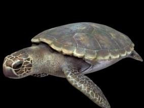 次世代红蠵龟 海龟 灵蠵 灵龟 赤蠵龟 蠢汉龟 3d模型