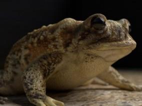 青蛙 3d模型