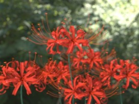 彼岸花植物花3D模型