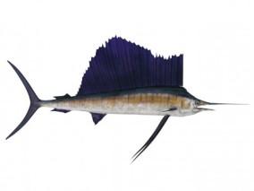 剑鱼 3d模型
