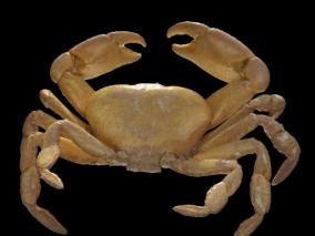 河蟹,溪蟹,帝王蟹,阳澄湖大闸蟹,海蟹,沙蟹,海底生物 3d模型