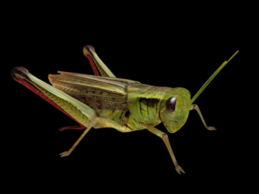 蝗虫 蚂蚱 蚱蜢 草螟 蝈蚂 扁担钩 飞行昆虫 写实昆虫  3d模型