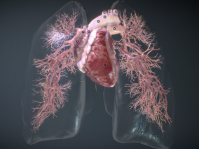 呼吸系统 肺 肺泡 支气管