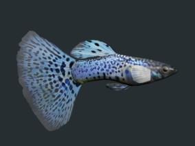 孔雀鱼3D模型