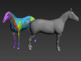 马解剖 马内部解剖学研究 动物解剖 动物内脏 肌肉 骨架3d模型