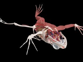 蛙 田鸡的内脏器官 蛙的骨骼 蛙内脏 青蛙 哺乳动物 动物 解剖蛙 3D模型