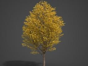 大枫树 大树 黄叶树 枫树 黄叶枫树 枫叶树 秋天枫树 植物树木 黄色树叶 桦树 古老树木