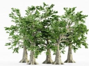 檫树 大树古树 老树 古榕树 枯藤古树 风景树 植物树木 四季树 白杨树 参天大树 绿树  景观树