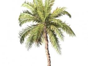 椰枣树 棕榈树 椰子树 热带阔叶树 灌木 沙漠植物 可可椰子 香水椰子 南方树种 植物 热带植物 夏