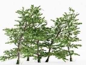 枫树 树 大树 树叶 绿树 景观树 树木枫树 枫树林 碧绿松树林 园林景观树 树林 植物树木 大树